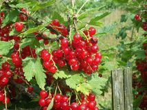 红色水多的无核小葡萄干在庭院里 免版税库存照片