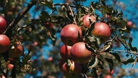 红色水多的苹果在树增长 股票录像