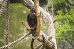 红色猴子 免版税库存图片