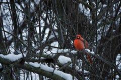 红色主教在冬天 库存照片