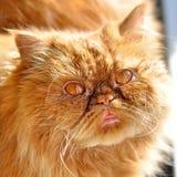 红色晴朗的波斯猫 免版税库存图片