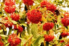 红色水果树 库存图片