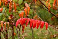 绯红色黄栌在反对被弄脏的背景的秋天 图库摄影