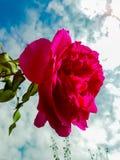 红色/桃红色玫瑰 免版税库存照片
