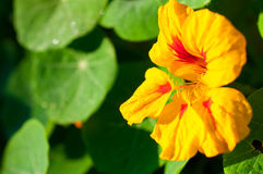 红色/橙色花特写镜头在红色/橙色花庭院/宏指令里在森林里 库存照片