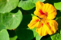 红色/橙色花特写镜头在红色/橙色花庭院/宏指令里在森林里 免版税图库摄影