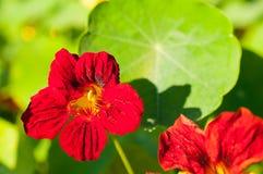 红色/橙色花特写镜头在红色/橙色花庭院/宏指令里在森林里 免版税库存照片