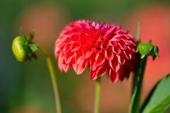 红色绒球大丽花 图库摄影