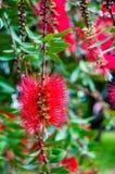 红色洗瓶刷树Callistemon花 免版税图库摄影
