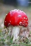 红色&白色蘑菇& x28; 伞形毒蕈muscaria& x29; 库存图片