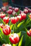 红色&白色郁金香在雨中 免版税库存照片