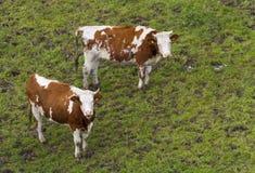 红色黑白花牛母牛 免版税库存照片