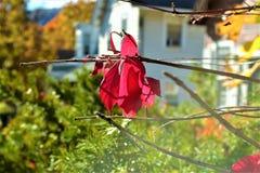 红色 秋天 结合被生成的另外风险秋叶hdr图象三 图库摄影