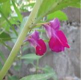 红色紫罗兰色凤仙花 图库摄影