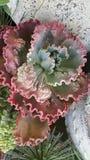 红色绿色叶茂盛多汁植物 图库摄影
