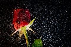 红色紫色玫瑰 图库摄影