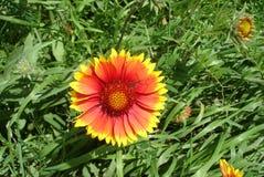 红色黄色花gailardia 免版税库存照片