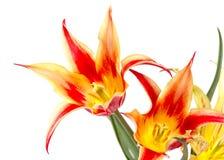 红色黄色郁金香花束  库存照片