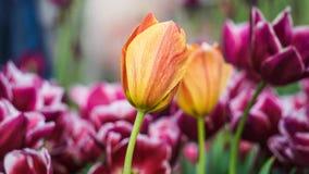 红色黄色郁金香郁金香美丽的花束  郁金香在五颜六色的春天 库存照片
