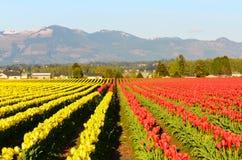 红色黄色郁金香领域 免版税库存照片