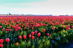 红色紫色郁金香领域 免版税库存图片