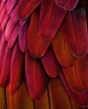 红色/黄色金刚鹦鹉羽毛 免版税库存照片