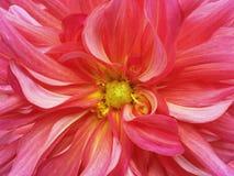 红色黄色 庭院 Hrysanthemum花 特写镜头 宏指令 库存图片