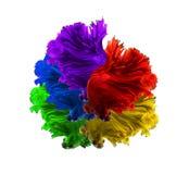 红色紫色绿色黄色和蓝色颜色龙暹罗战斗的f 免版税库存照片