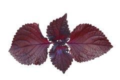 红色紫苏薄菏 库存图片