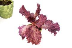 红色莴苣植物 库存图片