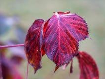 红色黑莓叶子 免版税库存图片