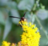 红色黄蜂 库存图片