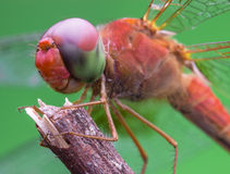 红色蜻蜓垂悬 图库摄影
