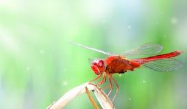 红色蜻蜓幻想 库存照片