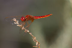 红色蜻蜓 库存图片