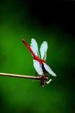 红色蜻蜓 免版税库存图片