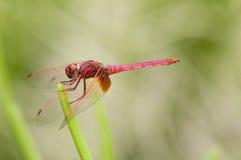 绯红色蜻蜓dropwing的男 免版税库存图片