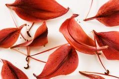 红色2个背景百合的瓣 免版税库存图片