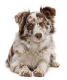 红色6个博德牧羊犬位于的merle的月 免版税库存照片
