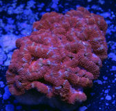 红色Acanthastrea脑珊瑚 免版税库存图片