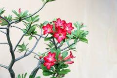 红色Adenium种植反对墙壁背景的,泰国 免版税图库摄影