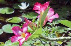 红色Adenium花和一个池塘有一朵莲花的在背景 免版税库存图片