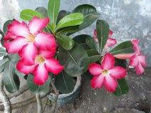 红色Adenium花 库存照片