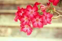 红色Adenium obesum花 免版税库存图片