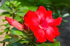 红色Adenium obesum 免版税库存照片