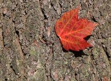 红色ahorn叶子 库存图片