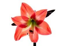 红色amarilis花 库存照片