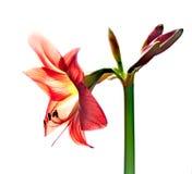 红色amarilis花 免版税库存照片
