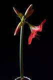 红色amarilis花 免版税库存图片