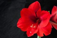 红色amarillis花 免版税库存图片